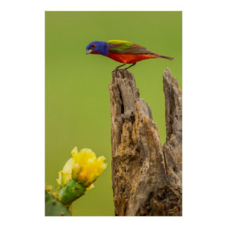 USA, Texas, Hidalgo County. Male Painted Bunting Poster