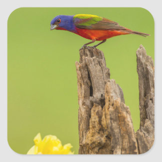 USA, Texas, Hidalgo County. Male Painted Bunting Square Sticker