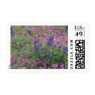 USA, Texas Hill Country. Bluebonnets among phlox Postage