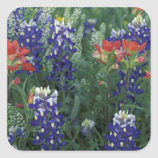 USA, Texas Hill Country. Bluebonnets and Square Sticker