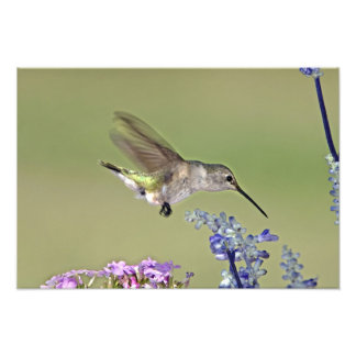 USA, Texas, Hill Country. Female black-chinned Photo Art