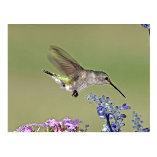 USA, Texas, Hill Country. Female black-chinned Postcard