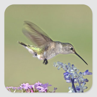 USA, Texas, Hill Country. Female black-chinned Square Sticker