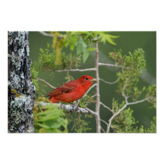 USA, Texas, Hill Country. Male summer tanager Poster