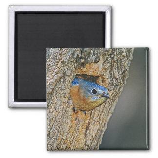 USA, Texas, Lipscomb. Female Eastern bluebird 2 Inch Square Magnet