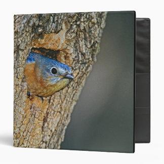USA, Texas, Lipscomb. Female Eastern bluebird Vinyl Binder