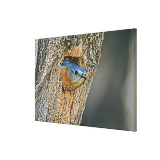 USA, Texas, Lipscomb. Female Eastern bluebird Canvas Print