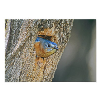 USA Texas Lipscomb Female Eastern bluebird Photographic Print