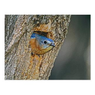 USA, Texas, Lipscomb. Female Eastern bluebird Postcard
