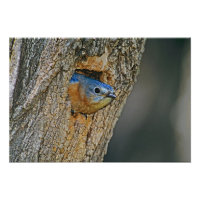 USA, Texas, Lipscomb. Female Eastern bluebird Posters