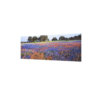 USA, Texas, Llano. Bluebonnets and redbonnets Canvas Print