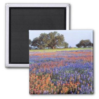 USA, Texas, Llano. Bluebonnets and redbonnets Magnet
