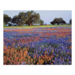 USA, Texas, Llano. Bluebonnets and redbonnets Poster