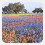 USA, Texas, Llano. Bluebonnets and redbonnets Square Sticker