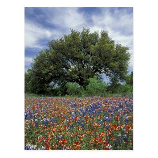 USA, Texas, Marble Falls Paintbrush and Postcard