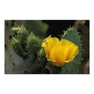 USA, Texas, Prickly Pear Cactus in bloom. Photo Print