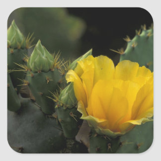 USA Texas Prickly Pear Cactus in bloom Sticker