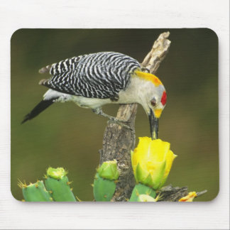 USA, Texas, Rio Grande Valley, McAllen. Male Mouse Pad