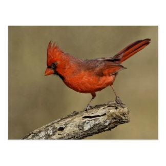 USA, Texas, Santa Clara Ranch. Northern Cardinal Postcard