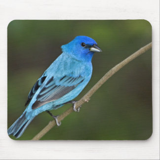 USA, Texas, South Padre Island. Portrait of 2 Mouse Pad