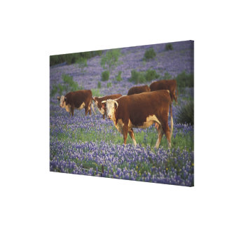 USA, Texas, Texas Hill Country, Hereford Canvas Print