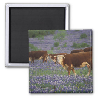 USA, Texas, Texas Hill Country, Hereford Refrigerator Magnets