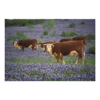 USA, Texas, Texas Hill Country, Hereford Photograph
