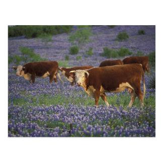USA, Texas, Texas Hill Country, Hereford Postcard