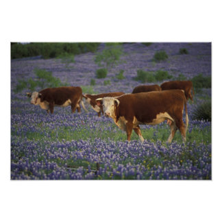 USA, Texas, Texas Hill Country, Hereford Poster