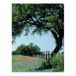 USA, Texas, Texas Hill Country Paintbrush and Postcard