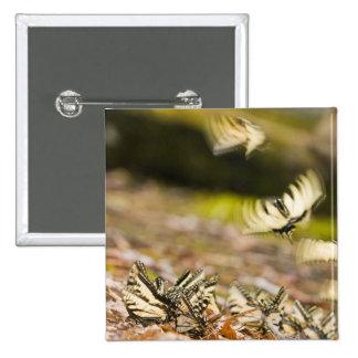 USA, TN, Tellico. Swallowtail butterflies Button