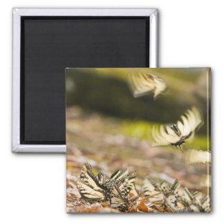 USA, TN, Tellico. Swallowtail butterflies Fridge Magnet