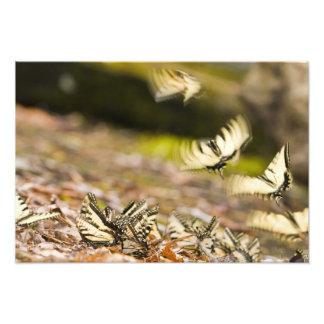 USA, TN, Tellico. Swallowtail butterflies Photo