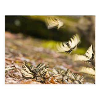 USA TN Tellico Swallowtail butterflies Post Cards