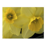 USA, Utah, Cache Valley Daffodils Post Card