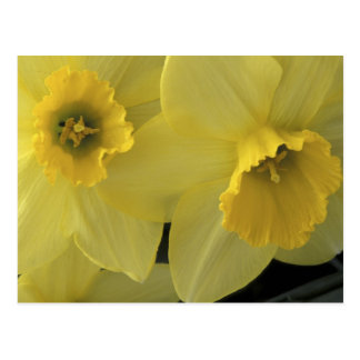USA, Utah, Cache Valley Daffodils Postcard