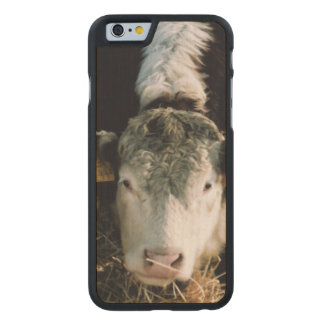 USA, Utah, Cache Valley, Hereford Steers Carved® Maple iPhone 6 Slim Case