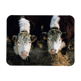 USA, Utah, Cache Valley, Hereford Steers Magnets