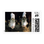 USA, Utah, Cache Valley, Hereford Steers Stamps