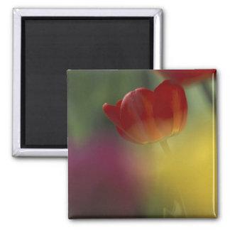 USA, Utah, Cache Valley Tulips in a garden Magnet