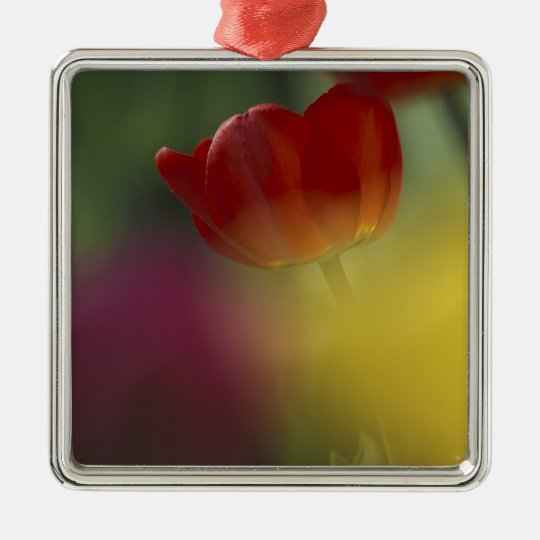 USA, Utah, Cache Valley Tulips in a garden Metal Ornament