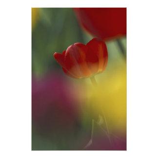 USA, Utah, Cache Valley Tulips in a garden Photo Print