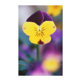 USA, Utah, Close-Up of Viola tricolor in garden Canvas Print