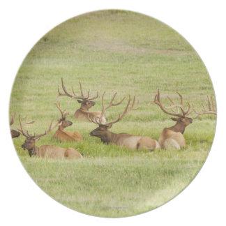 USA, Utah, Group of bull Elk (Cervus canadensis) Dinner Plate