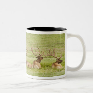 USA, Utah, Group of bull Elk (Cervus canadensis) Two-Tone Coffee Mug