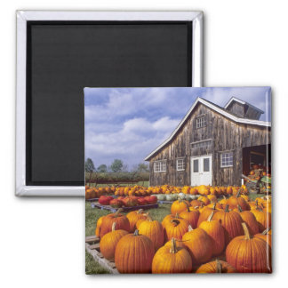 USA, Vermont, Shelbourne, Pumpkins 2 Inch Square Magnet