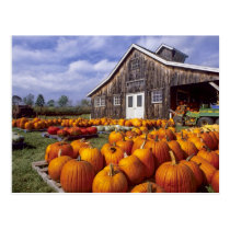 USA, Vermont, Shelbourne, Pumpkins Postcard