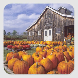 USA, Vermont, Shelbourne, Pumpkins Square Sticker