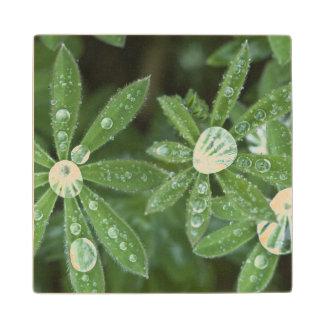 USA, WA, Olympic NP, Raindrops on Lupine Wood Coaster