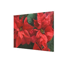 USA, WA, Red Poinsettia Detail (Euphorbia Canvas Print